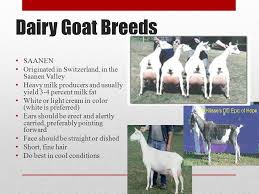 There Are Over Three Hundred Breeds Of Goats Around The World Ppt