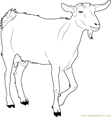 Small Picture White Goat Coloring Page Free Goat Coloring Pages
