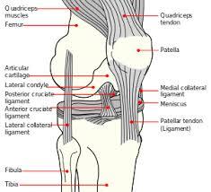 Body Injury Chart Anterior Cruciate Ligament Injury Wikipedia