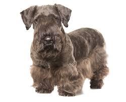 cavalier king charles spaniel cesky terrier