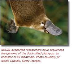 Este xogo temático animal excelente, animals sequence, vai axudar, xa que permitirá que practicar as súas instalacións e concentración intelectual. Duck Billed Platypus Genome Sequence Published