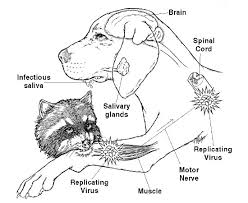 useful raccoon rabies info you need to read rabid raccoons are dangerous to dogs
