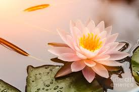 Beautiful Waterlily Or Lotus Flower Photograph by Zhao Jiankang