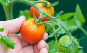 20 Common Tomato <b>Plant</b> Problems and How to Fix Them