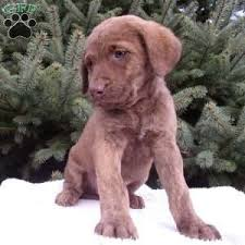 chesapeake bay retriever puppies for