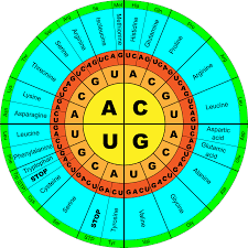 Codon Chart Circle The Genetic Code Interactive Tutorial Sciencemusicvideos