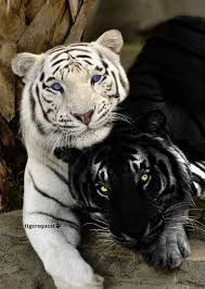 albino black panther. Wonderful Panther Amazing Wildlife  White Tiger And Black Panther More Throughout Albino N