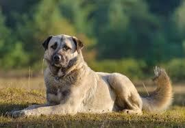 Anatolian Shepherd Puppy Growth Chart Anatolian Shepherd Dog Breed Guide Everything You Need To
