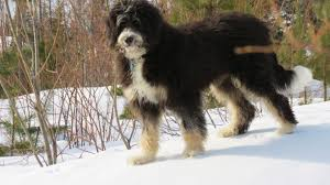 Bernedoodle Growth Chart Bernedoodle Info Temperament Training Diet Puppies Pictures