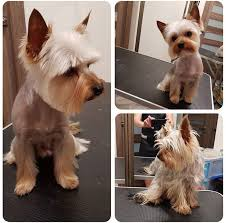 yorkie short haircut for male yorkie summer cut