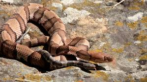 Javascript snake use the arrow keys on your keyboard to play the game. Snakes Alive Copperhead Other Snake Encounters More Likely As Days Shorten Weather Cools News Tulsaworld Com