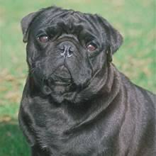 black pugs for sale.  For Breed Info Chinese Pug To Black Pugs For Sale W