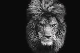 black and white lion portrait. Delighful Black Lion Photograph  Stunning Black And White Portrait Of Barbary On  Background By Matthew For I