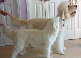 Goldendoodle Size Chart F1 Standard Goldendoodle Size Goldenacresdogs Com