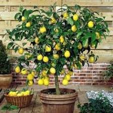 lemon tree x: meyer lemon tree we pull this indoors in late nov and set it back out after the last frost and bring it out on sunny days in between