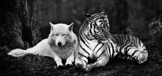 Wolf vs tiger simulator has 22 likes from 25 user ratings. Wolves And Tigers Stories Between A Wolf Tiger And Their Friends In A Notebook