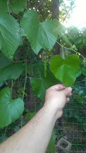 Amazing Mulberry Tree No Fruit Part  7 Grow Your Own Mulberry Mulberry Tree No Fruit