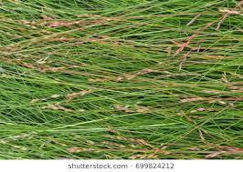 tall grass texture. The Texture Of Wet Tall Grass.Horizontal. Grass ,