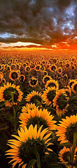 Sunflower #Wallpapers #For #iPhone #XR ...