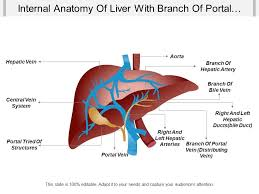 Liver Anatomy Internal Anatomy Of Liver With Branch Of Portal Vein Branch