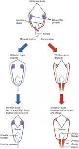 Fetal Development Anatomy And Physiology Ii