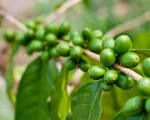 puedo tomar extracto de grano de café verde después de comer