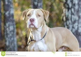 american bulldog pitbull mix. Beautiful Bulldog Download American Bulldog Pitbull Mixed Breed Dog Stock Image  Of  Mastiff Mixed And Mix N