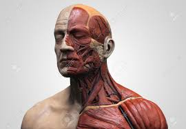 face anatomy human body anatomy muscle anatomy of the face neck and chest