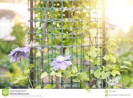 Clematis Blue Light Stock Image Image Of Growing