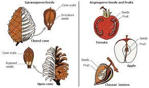 Angiosperm Vs Gymnosperm Venn Diagram Major Differences Difference Between Gymnosperms And Angiosperms