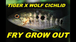 Baby Fish Growth Wolf And Red Tiger Motaguense Cichlids
