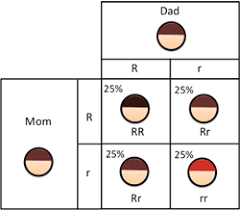 Hair Color Genetics