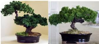 office bonsai. Preserved Bonsai Tree Office N