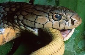 king cobra snake eating. Contemporary Snake With King Cobra Snake Eating E