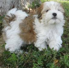 Small Picture sable colored havanese dogs and puppies