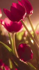Beautiful Tulips - Nice Wallpapers For ...