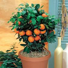 Apricot Trees For Sale  Buy Apricot Trees From Stark Brou0027sFull Size Fruit Trees For Sale