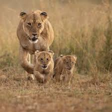 cunning to protect their cubs