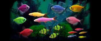 petco glofish. Perfect Petco GF_WebsiteBanner_1400x575_1117 On Petco Glofish G