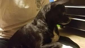 Animal Cop Video Arkansas Cop Casually Shoots A 9 Pound Dog Reason Com