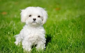 white puppy wallpaper