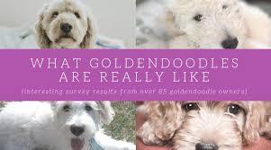 Goldendoodle Temperament Take It From 90 Goldendoodle Parents
