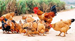 Image result for con gà