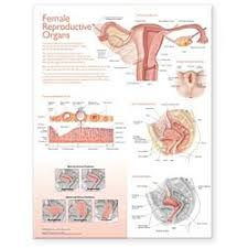 Atlas Of Anatomy Female Reproductive Organs Chart Laminated