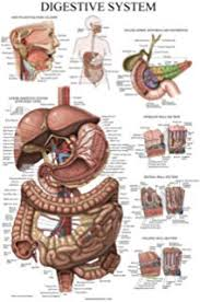 Human Organ Chart Amazon Com Internal Organs Of The Human Body Anatomical