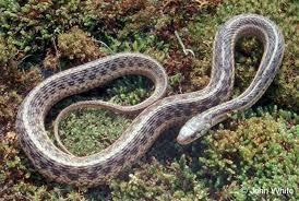 Georgia Snake Identification Chart Georgia Snakes 101 Roswell Ga Patch
