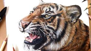 color tiger drawing. Simple Tiger How To Draw A Realistic Tiger  Marker  Coloured Pencil Drawing Tutorial  Step By Intended Color W
