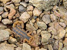 Striped bark scorpion - Wikipedia