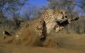 cheetah hd wallpaper 11 jpg
