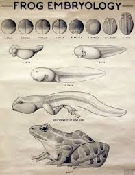 Frog Embryology Wall Charts Carleton College